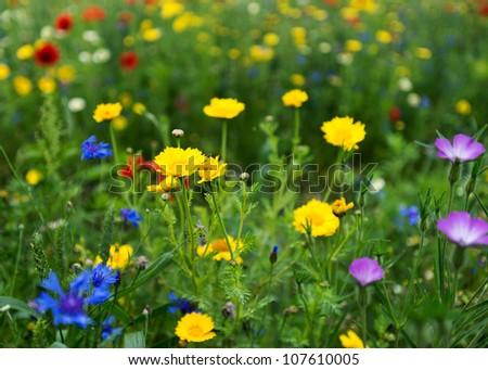Poppies in a field in summer