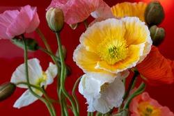 Poppies in bloom, still life.