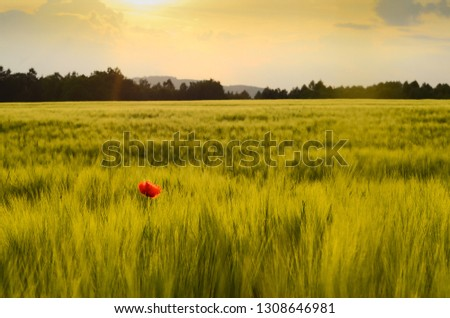 Poppies in field with sunset Stock fotó ©
