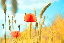 Poppies in the field of dry cereal,Poppy in cereal
