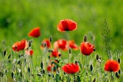 Poppies on field