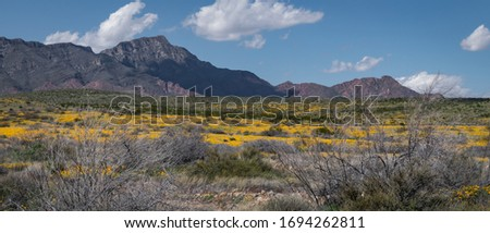 Poppies on the Sun rise side of the mountain. Spring 2020, El Paso, Texas Foto stock ©