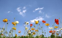 poppies under sunny sky