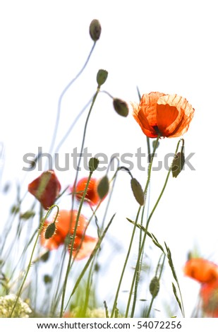 poppies with buds - stock photo