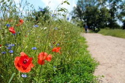 Poppy and chicory flowers growing in the meadow next to a path.