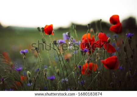 Photo of  Poppy and cornflowers in sunset light in summer meadow, selective focus. Atmospheric beautiful moment. Wildflowers in warm light, flowers close up in countryside. Rural simple life
