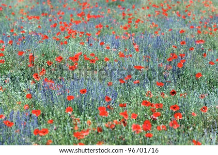 poppy and lavender field in France in summer