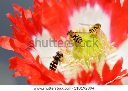 poppy and wasps