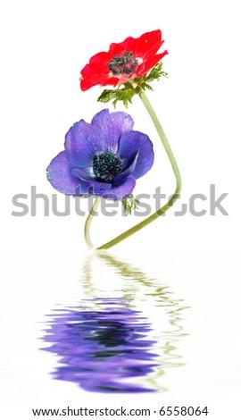 Poppy Anemones  (Anemone Coronari)