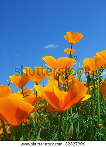 Poppy field and sky