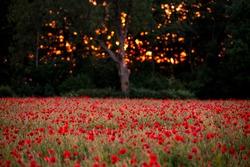 Poppy Field in golden hour