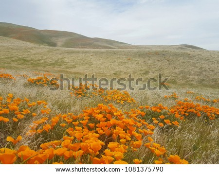 Poppy field in the rolling California hills