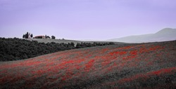 Poppy field with old chapel in Tuscany Italy