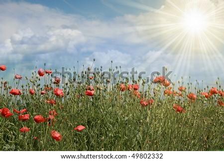 [Obrazek: stock-photo-poppy-field-with-sun-49802332.jpg]