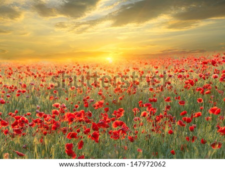 Poppy filed on sunset sky background
