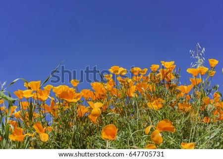 Poppy flower blossom near Lake Elsinore, California