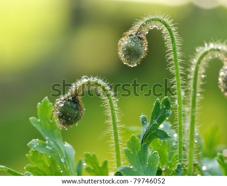 poppy flower buds with water drops in the early morning, close up