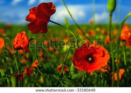 Poppy flower in a field of poppies