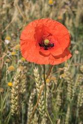 poppy flower in a summer cornfield