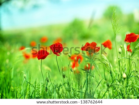 Poppy flower in the meadow