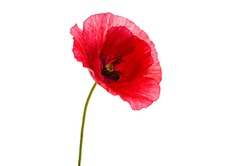 poppy flower isolated on white background