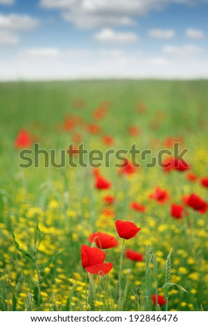 poppy flower meadow spring season
