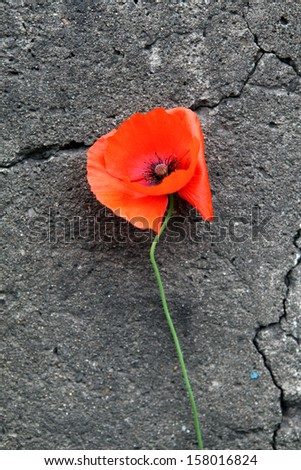 Poppy Flower on the cracked stone wall background
