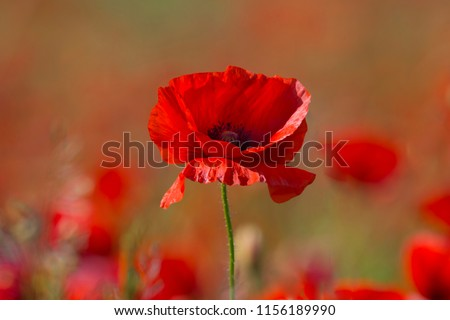 Photo of  Poppy flower or papaver rhoeas poppy with the light