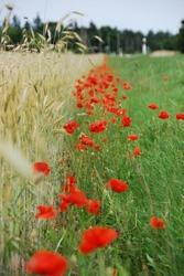 Poppy flower row next to  wheat field