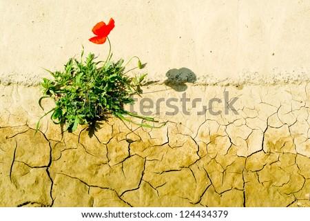 Poppy flower surviving in a dry cracking soil