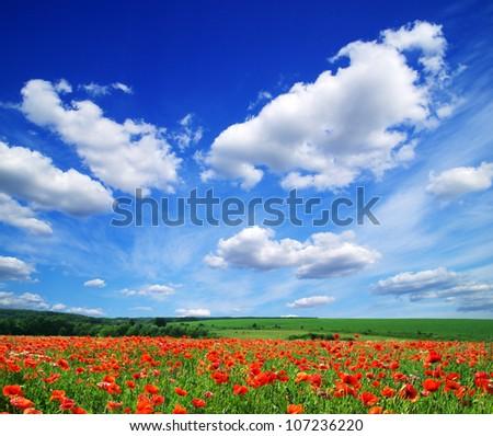 poppy flowers against the blue sky