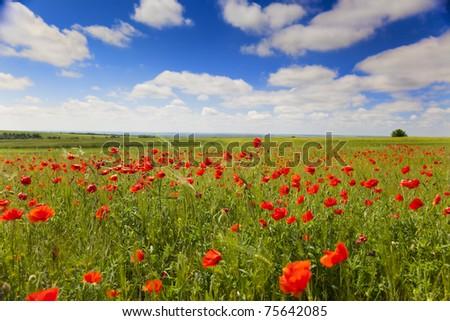 poppy flowers against the blue sky / flower meadow / Summer