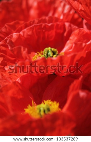 Poppy flowers background