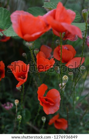 Poppy flowers close up picture, artistic style. Macro photography. Latin name - Papaver rhoeas.