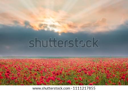 Poppy flowers during sunrise. Dark cloud over  poppy field. Rays of  sun break through  dark cloud over  poppy flowers