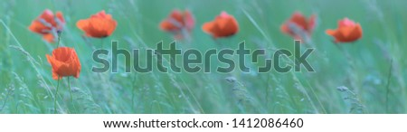 Poppy flowers for anzac day. Spring-summer panoramic banner with poppies on wind in the morning haze at sunrise. Soft focus image of wild meadow poppies against emerald-green grass. Copy space.
