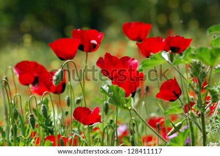 Poppy flowers in green field. Spring season abstract background.