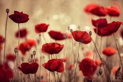 Poppy Flowers in Summer