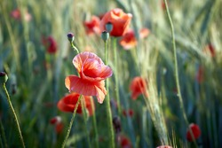 Poppy flowers in the early morning. Poppy flowers petals with water drops on it. Flowering red poppies in a wheat field.  Close up. June 2020. Lithuania.