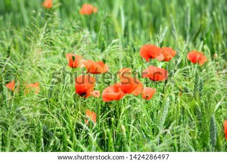 poppy flowers on a green meadow