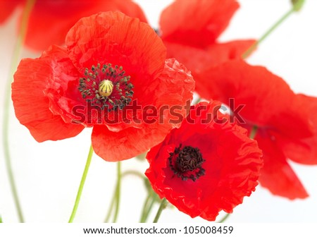 Poppy flowers on white