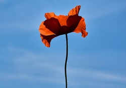 Poppy flowers or papaver rhoeas poppy in garden, early spring on a warm sunny day, against a bright blue sky. High quality photo