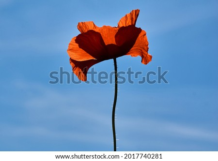Photo of Poppy flowers or papaver rhoeas poppy in garden, early spring on a warm sunny day, against a bright blue sky. High quality photo