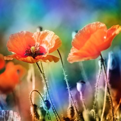 poppy flowers, photography in the style of lomography