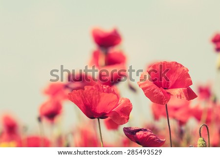 Poppy flowers retro vintage summer background, shallow depth of field with red flowers over green background