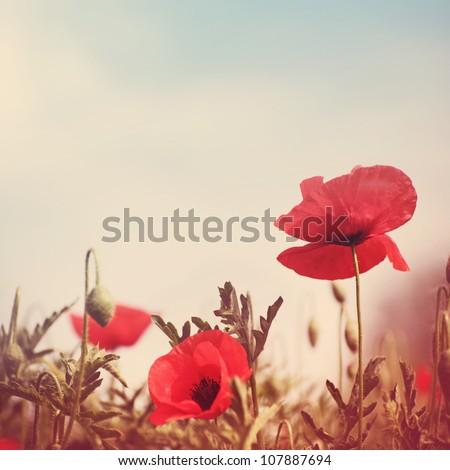 poppy flowers vintage stylized without paper texture
