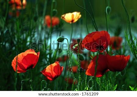 Poppy flowers with back-lighting