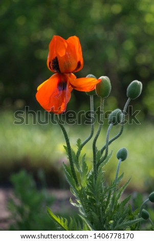 Poppy Idyll.In the garden blossom poppies.Creating a mood.A living embodiment of the fantasy of nature.Poppy, another bud on the way. Decorative poppy on their summer cottage.A delicate flower.