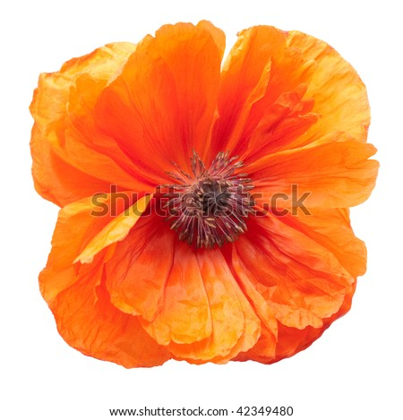 Poppy isolated over white background.