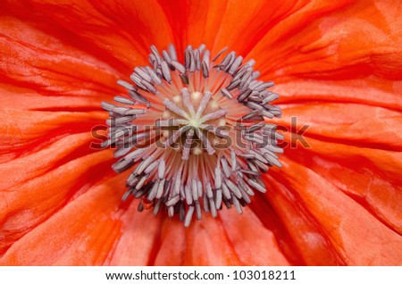 poppy macro, pollen and pistil